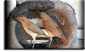Печники. Интересные факты о птицах