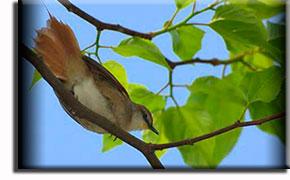 Краснолицая пищуховая иглохвостка